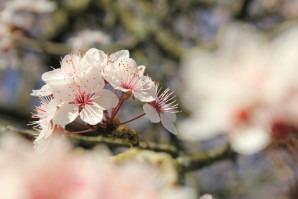 Magnifiques fleurs de cerisier au Japon