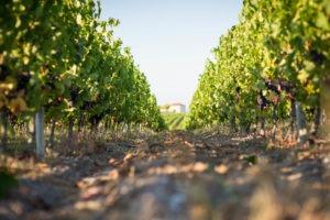 Chloé & Wines - Wine Tour - vignes du Sud-Ouest