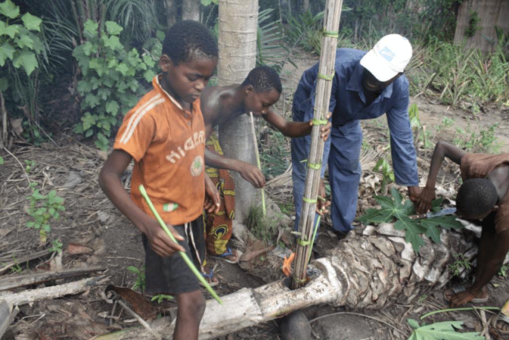 Préparation du vin de palme au Togo